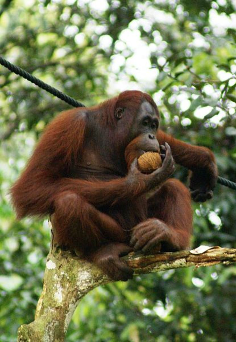 This is a Bornean orangutan with its slightly squarer head...