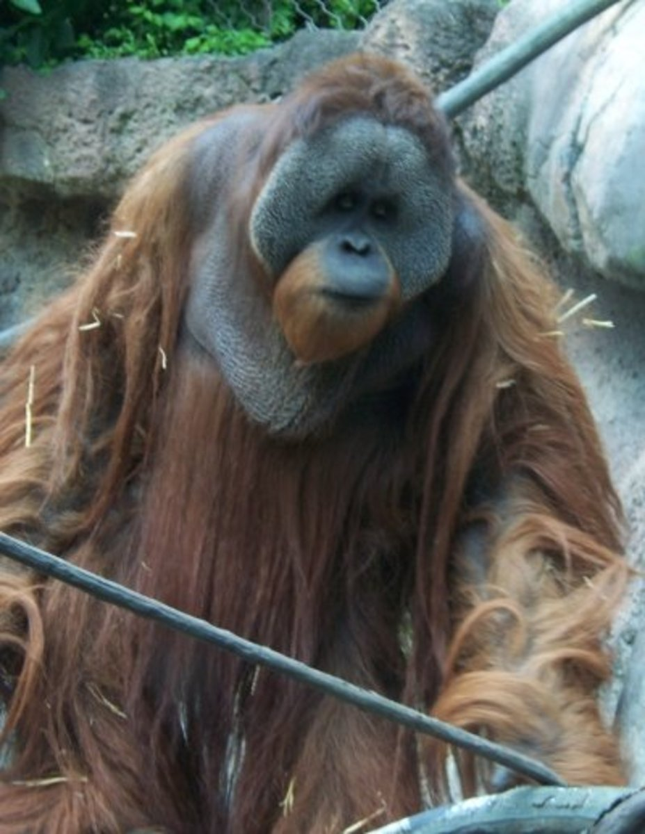 Adult male orangutans develop cheek-pads when they normally reach 30 years old. Its thought they aid with vocalisation, but more importantly they make the males appear larger.