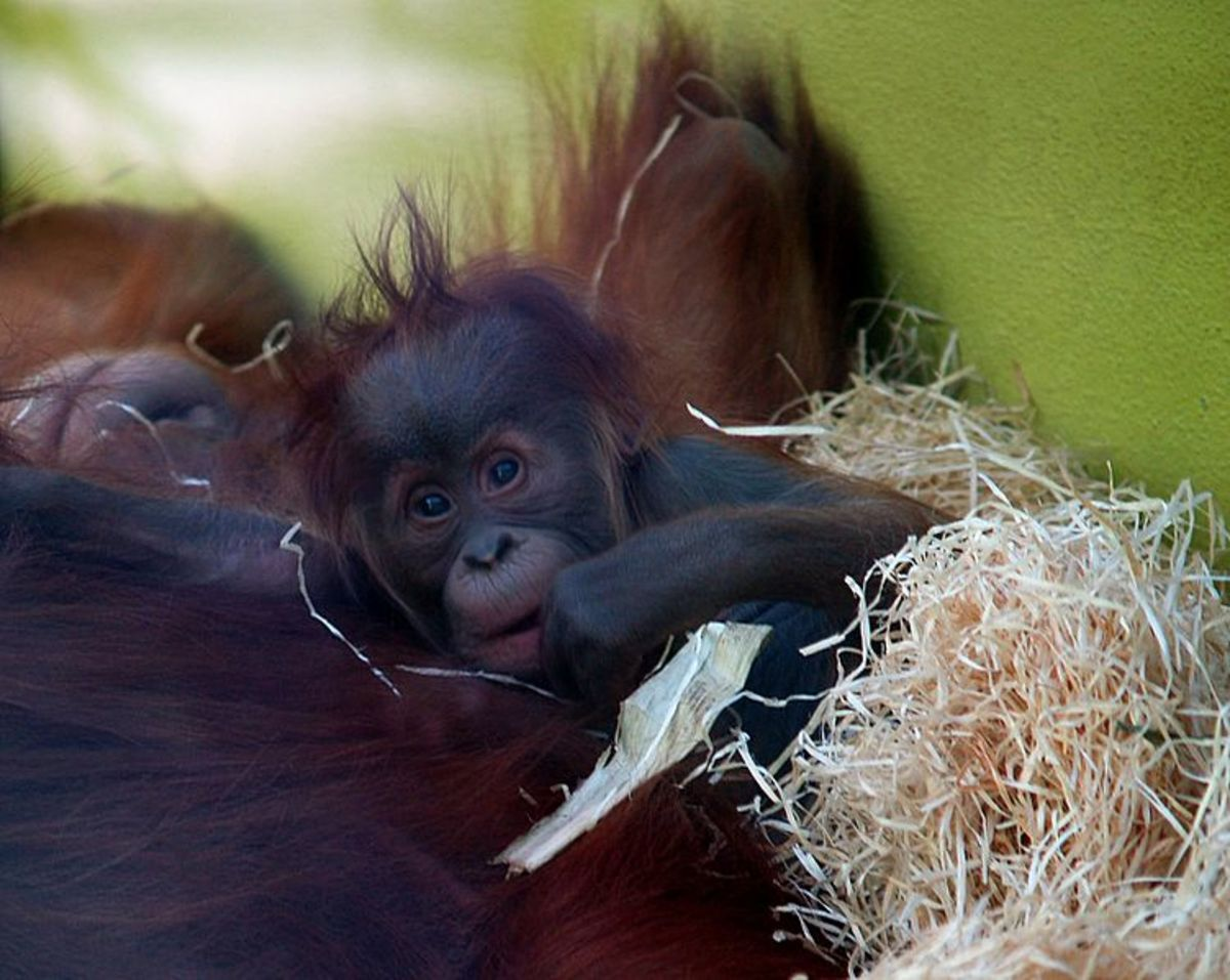 Very few mammals can match the parental devotion shown by orangutans. Only human infants spend a longer amount of time with their mothers than orangutans.