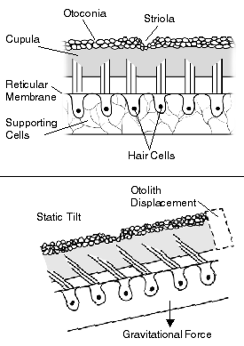 The movement of endolymphatic fluid past hair cells (cilia)  is responsible for the sense of balance.