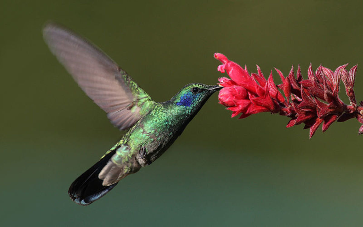 Hummingbird Facts And Symbolism Owlcation