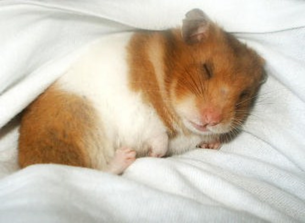 Hampster Sleeping