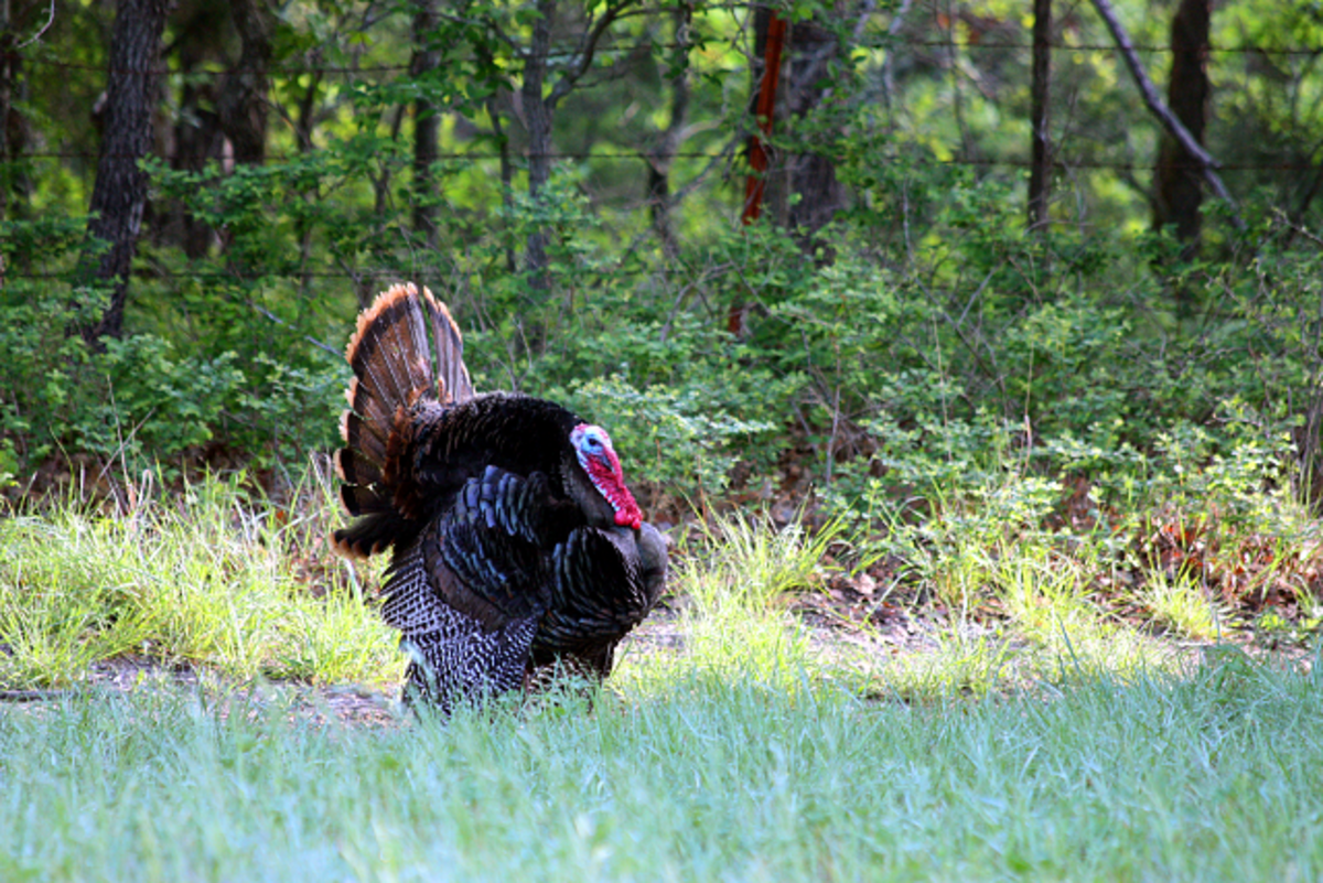 Wild Tom Turkey Walking Through my Back Yard