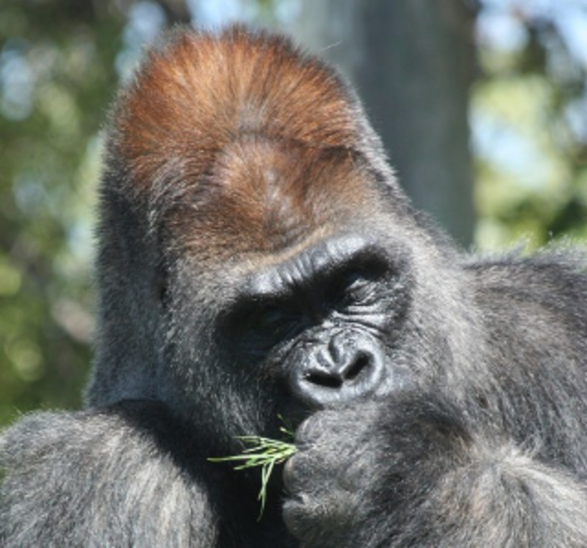 Male Siverback Gorilla