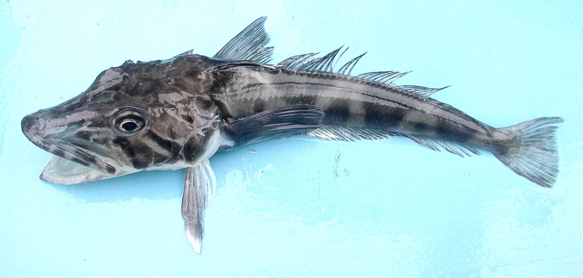 An ocellated icefish, or Chionodraco rastrospinosus