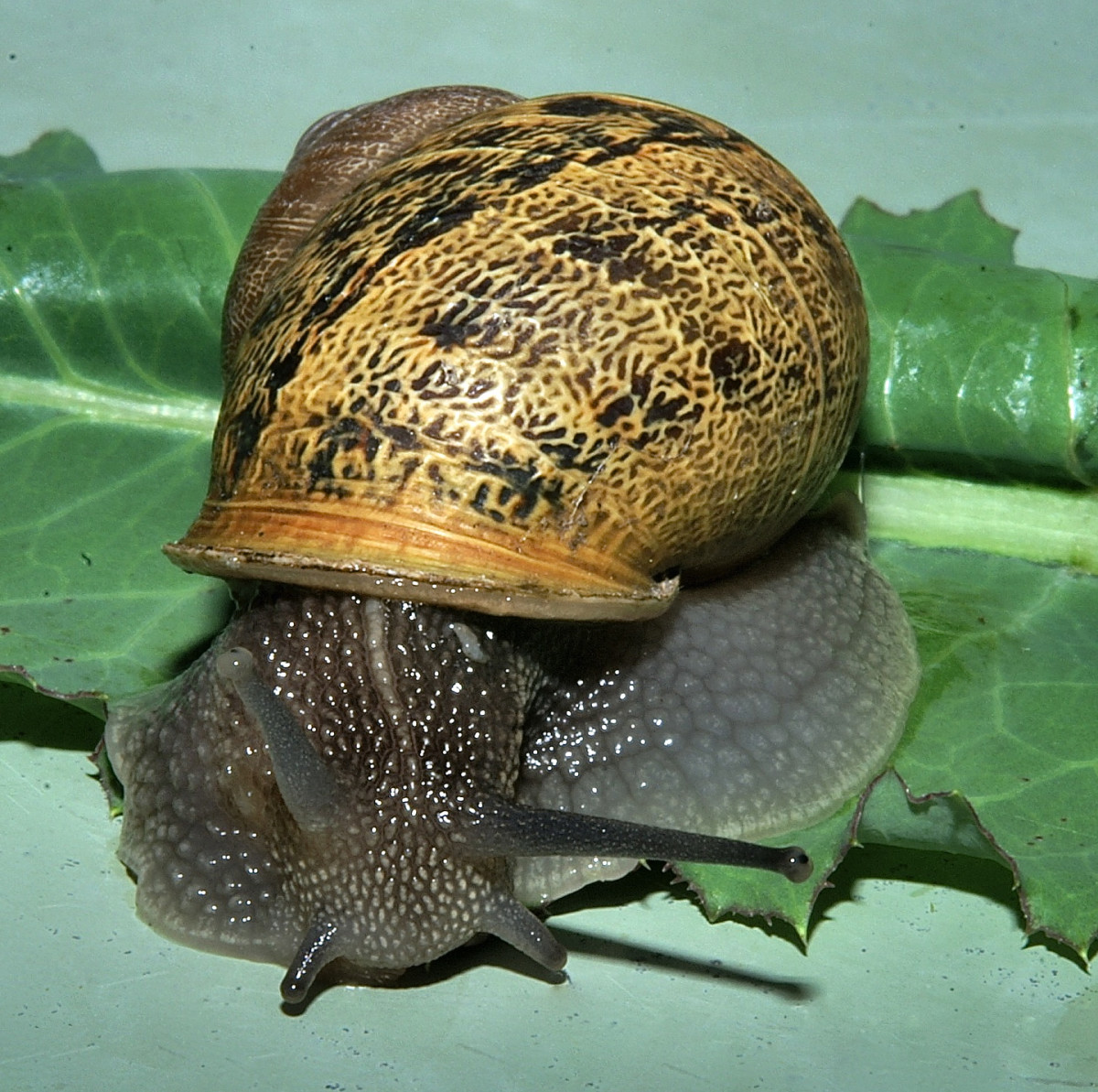 Snail blood contains hemocyanin.