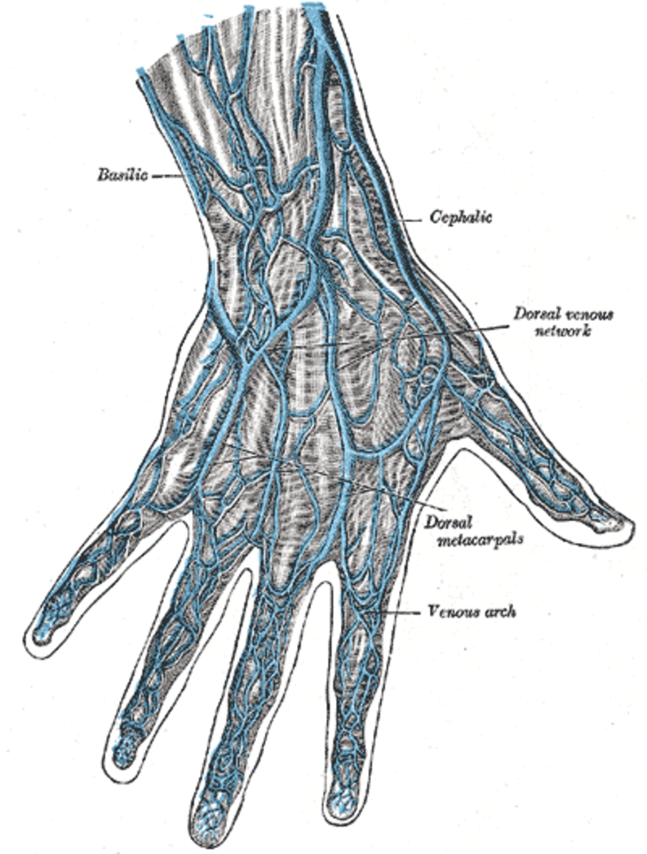 Veins on the back of the hand show up more clearly as we age due to tissue loss and other changes. Veins are usually colored blue in illustrations.
