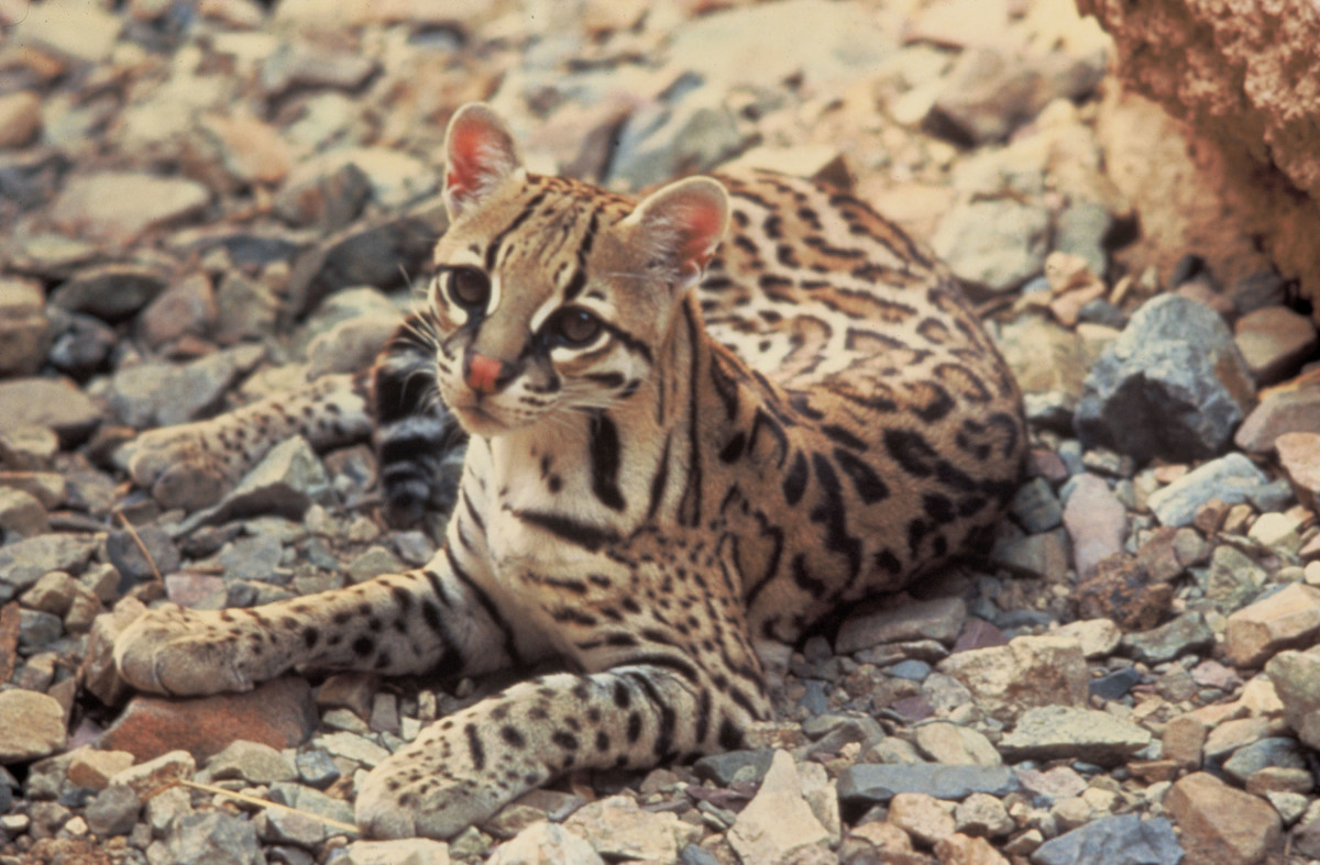 Ocelots are very beautiful with extremely unique markings, much like that of a leopard, with dark markings around the eyes, similar to the appearance of mascara. They also have large white circles on the back of their ears.