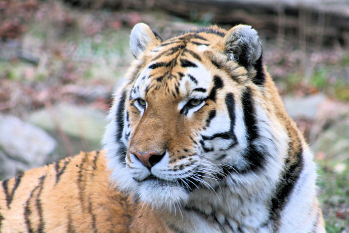 Bengal Tigers are also known as Indian Tigers, and are a large part of Indian folklore.