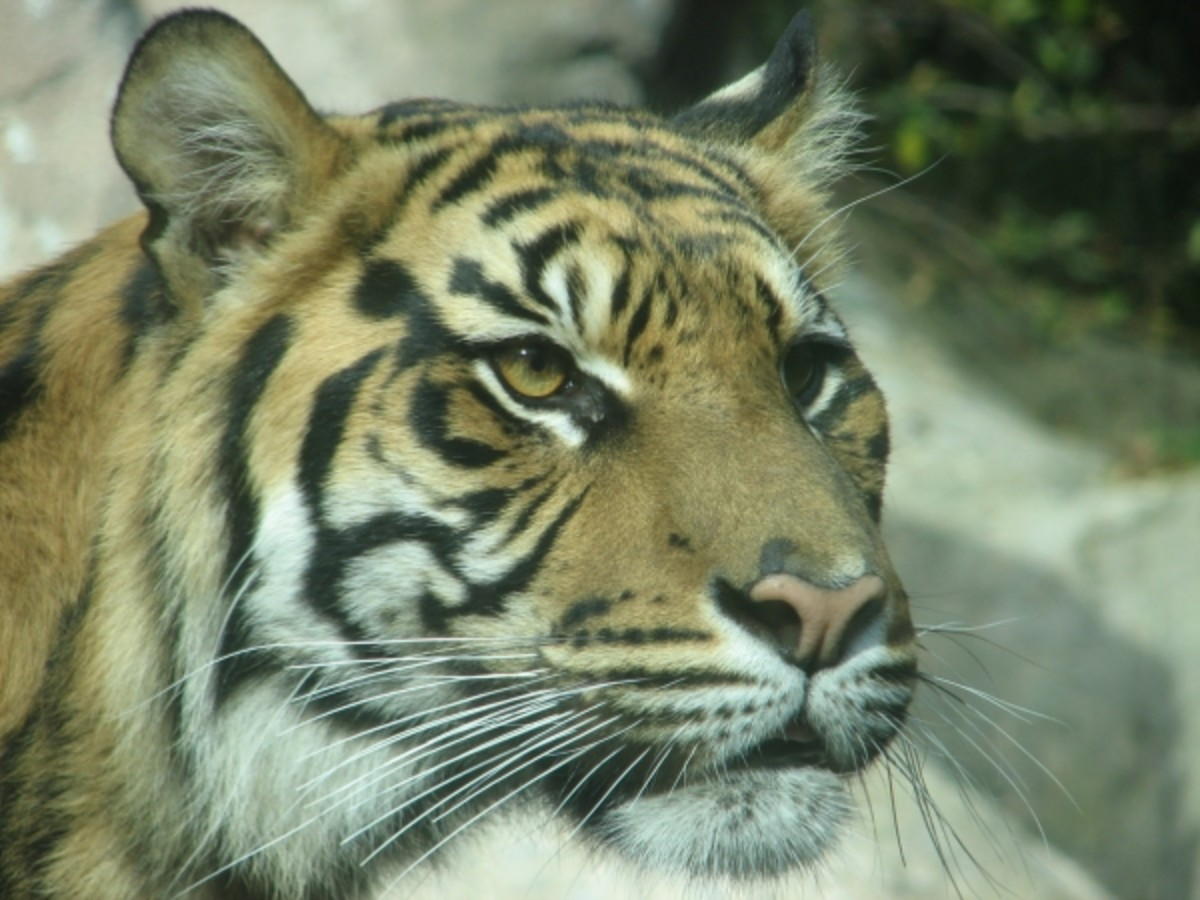 The Sumatran tiger is the most endangered and the smallest of all subspecies of tigers.