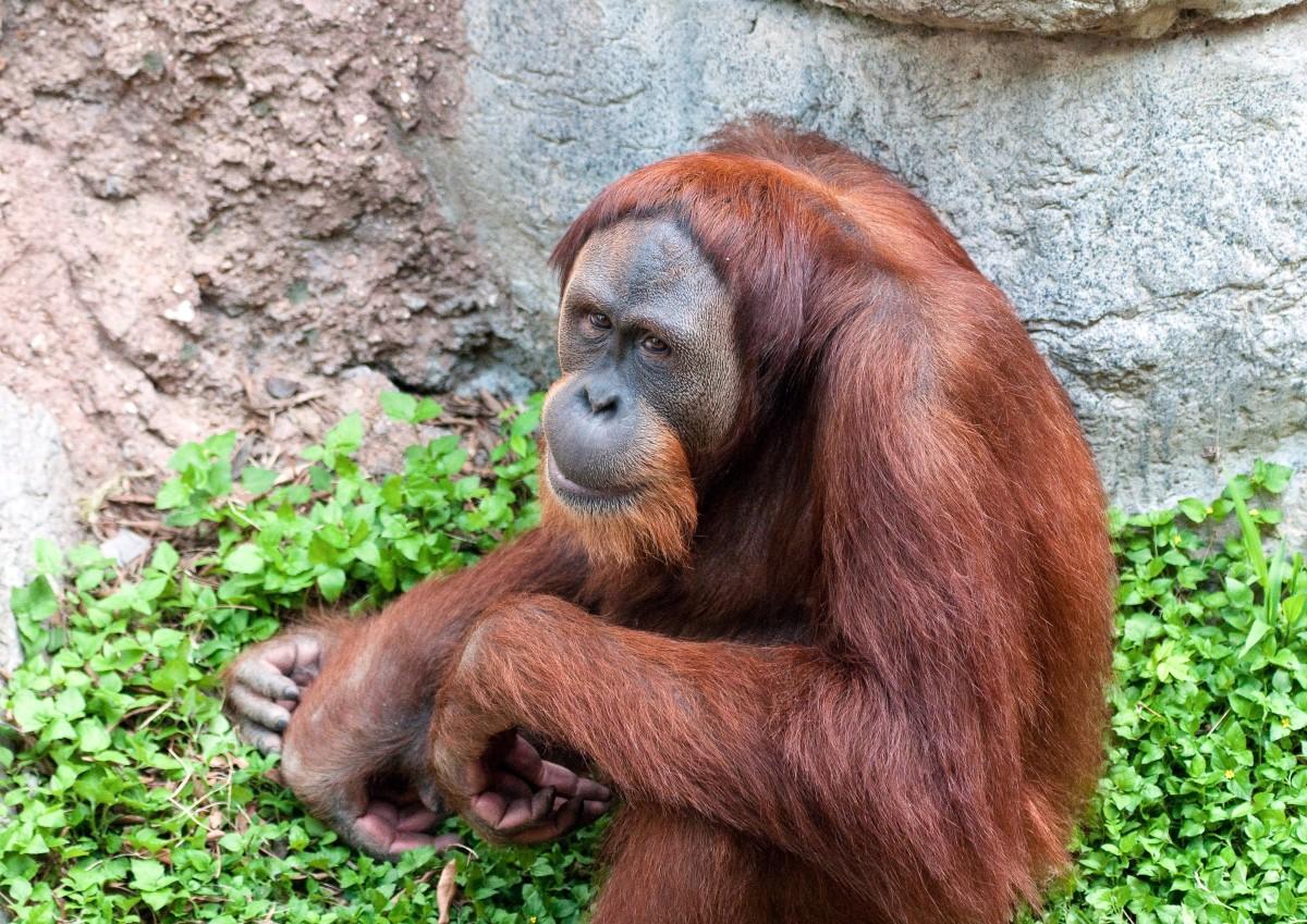 A Bornean orangutan at the Fort Worth Zoo in Texas