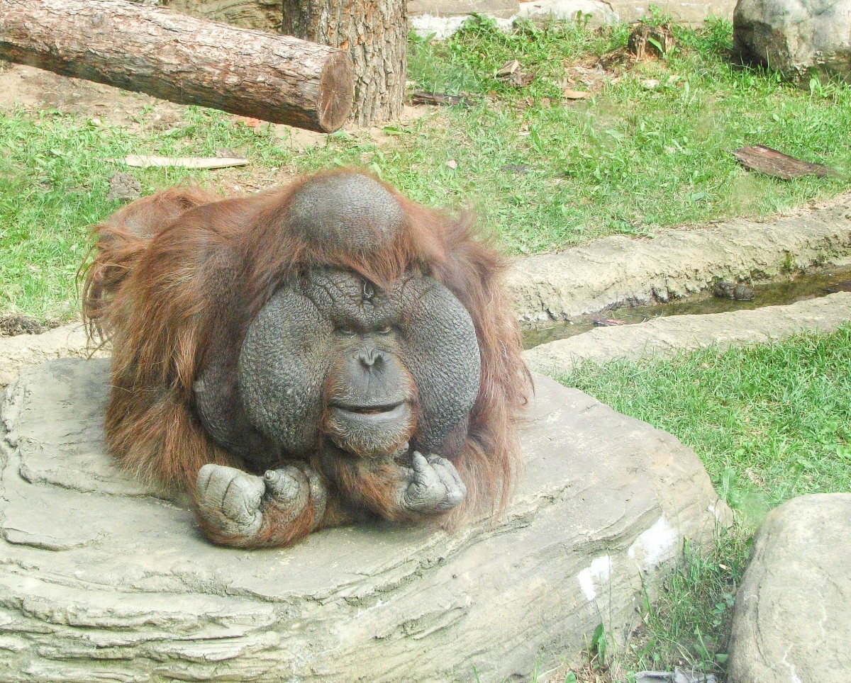 The huge cheek pads of a male Bornean orangutan at the Moscow Zoo