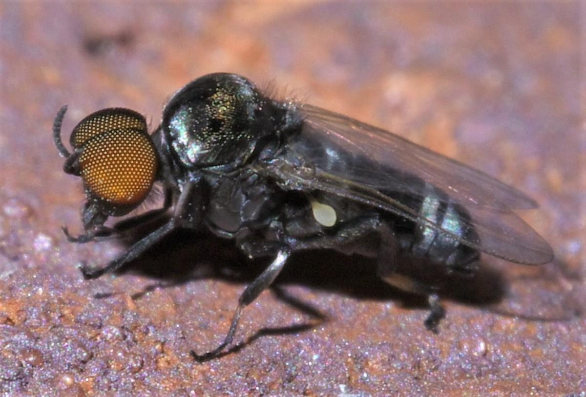 A species of Simulium