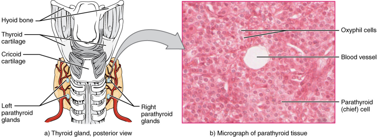 The thyroid and parathyroid glands play a role in bone remodeling.