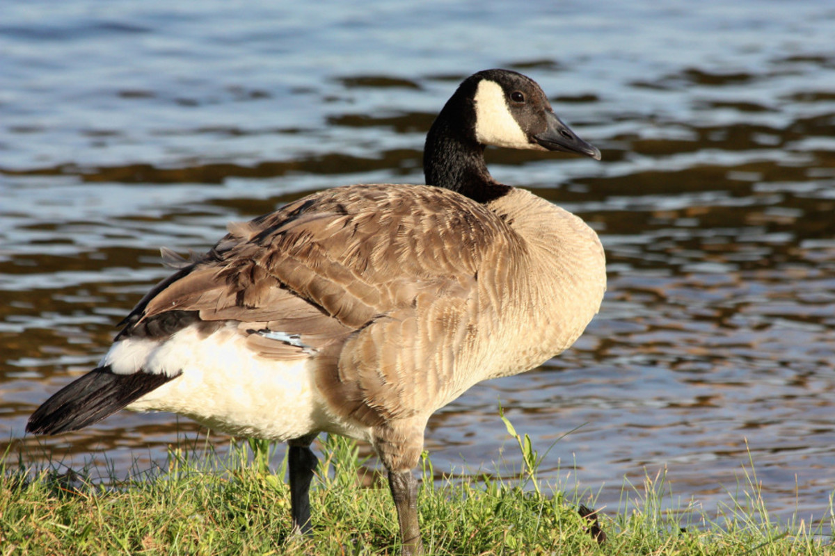 Canada Goose Side View