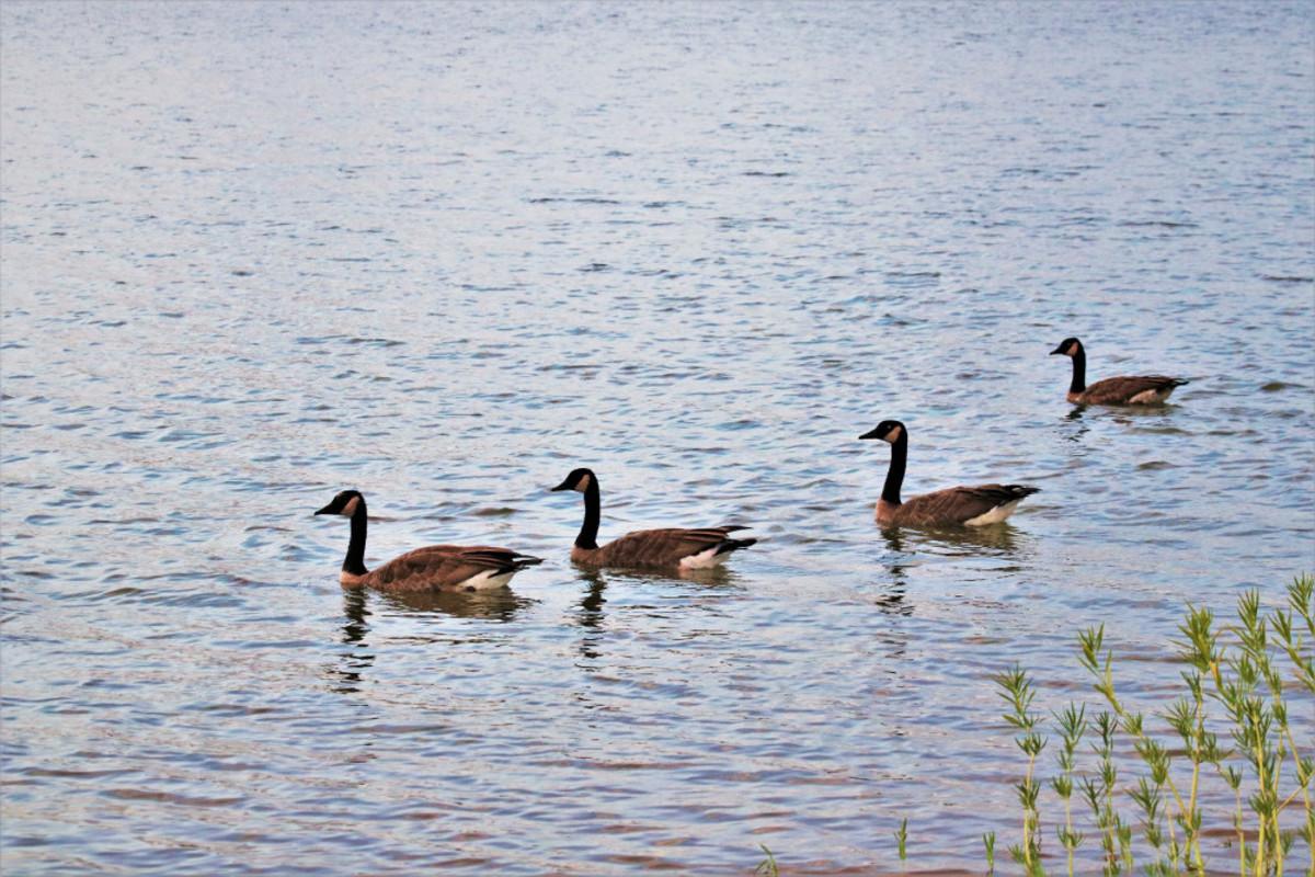 Canada geese at Lake Murray, Oklahoma.