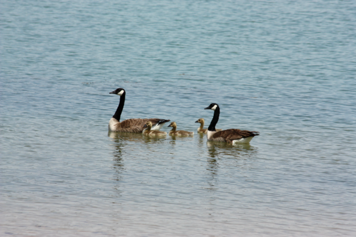 Family of Geese Swimming