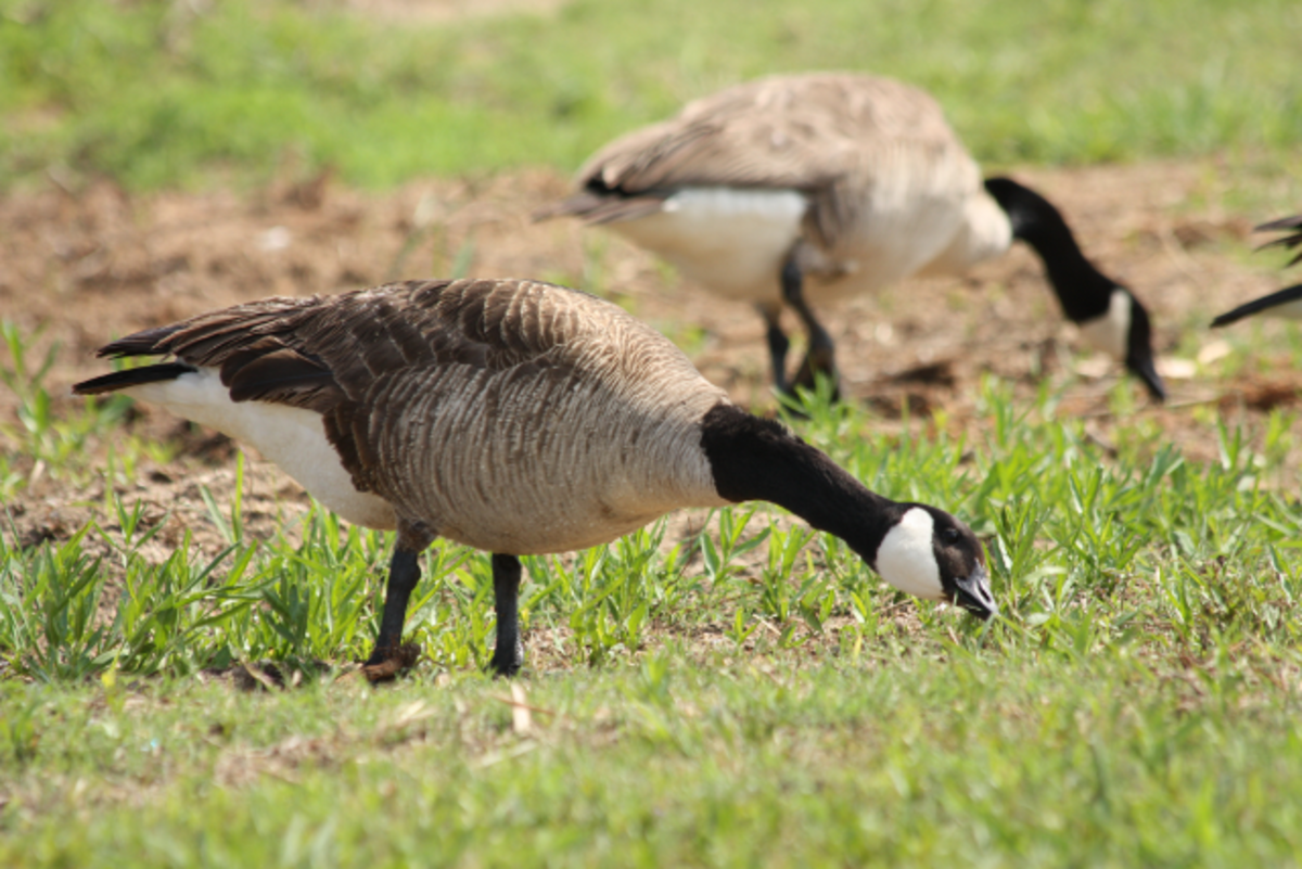 Canada Geese munching on grass.
