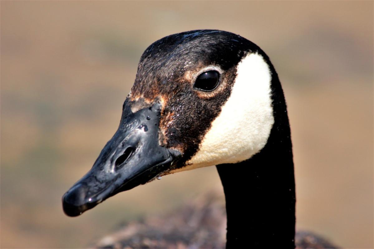 Facial Marking of the Canada Goose
