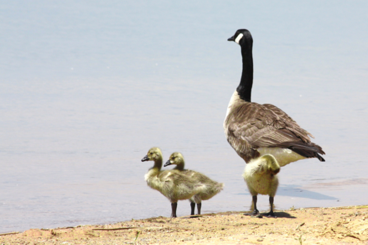 The Canada Goose Facts and Information   Owlcation