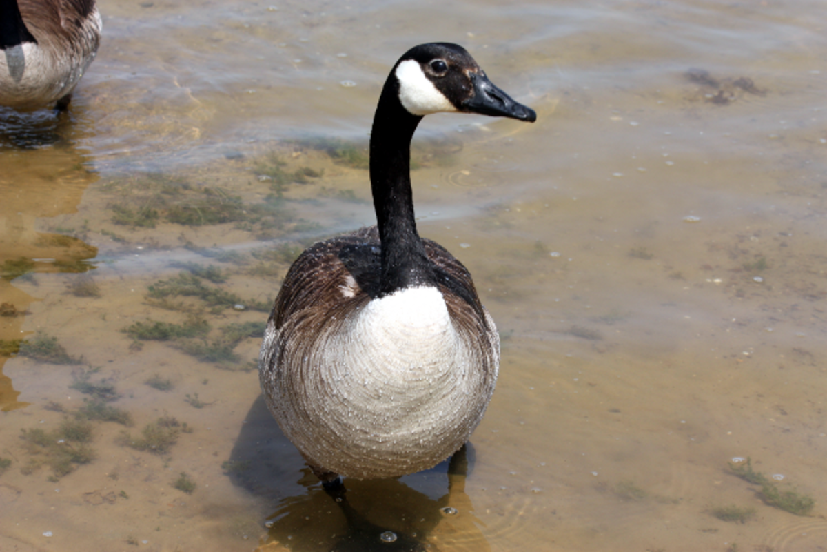 Canada Goose Fron View