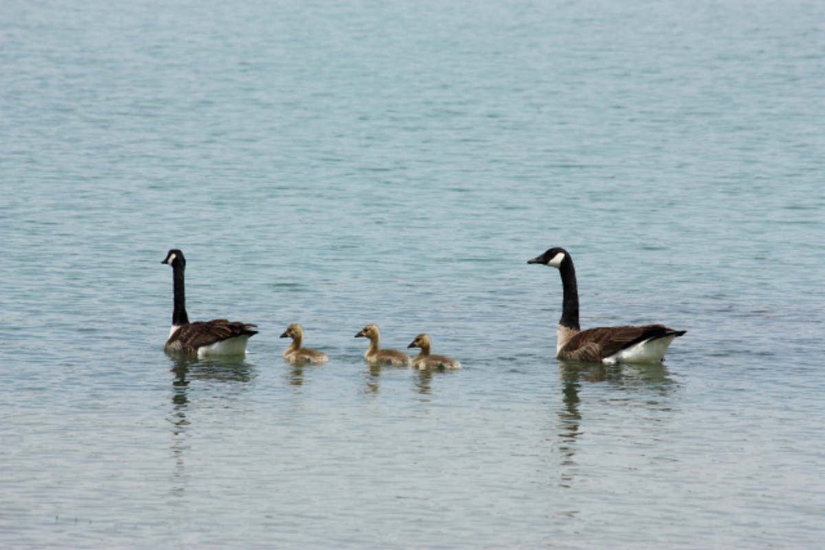Adult Canada Geese Swimming with Goslings