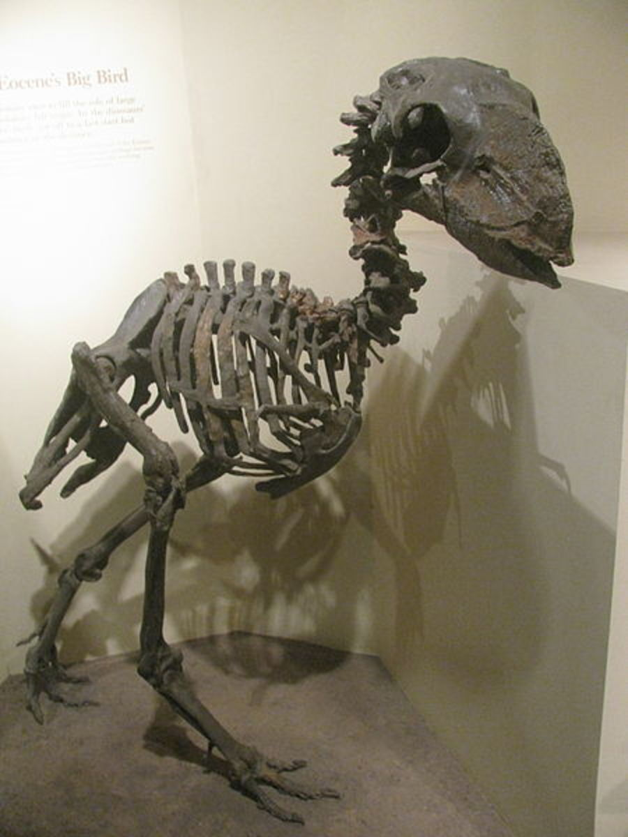 Gastornis, or Diatryma was the largest predator on the Earth in the aftermath of the dinosaur extinction.