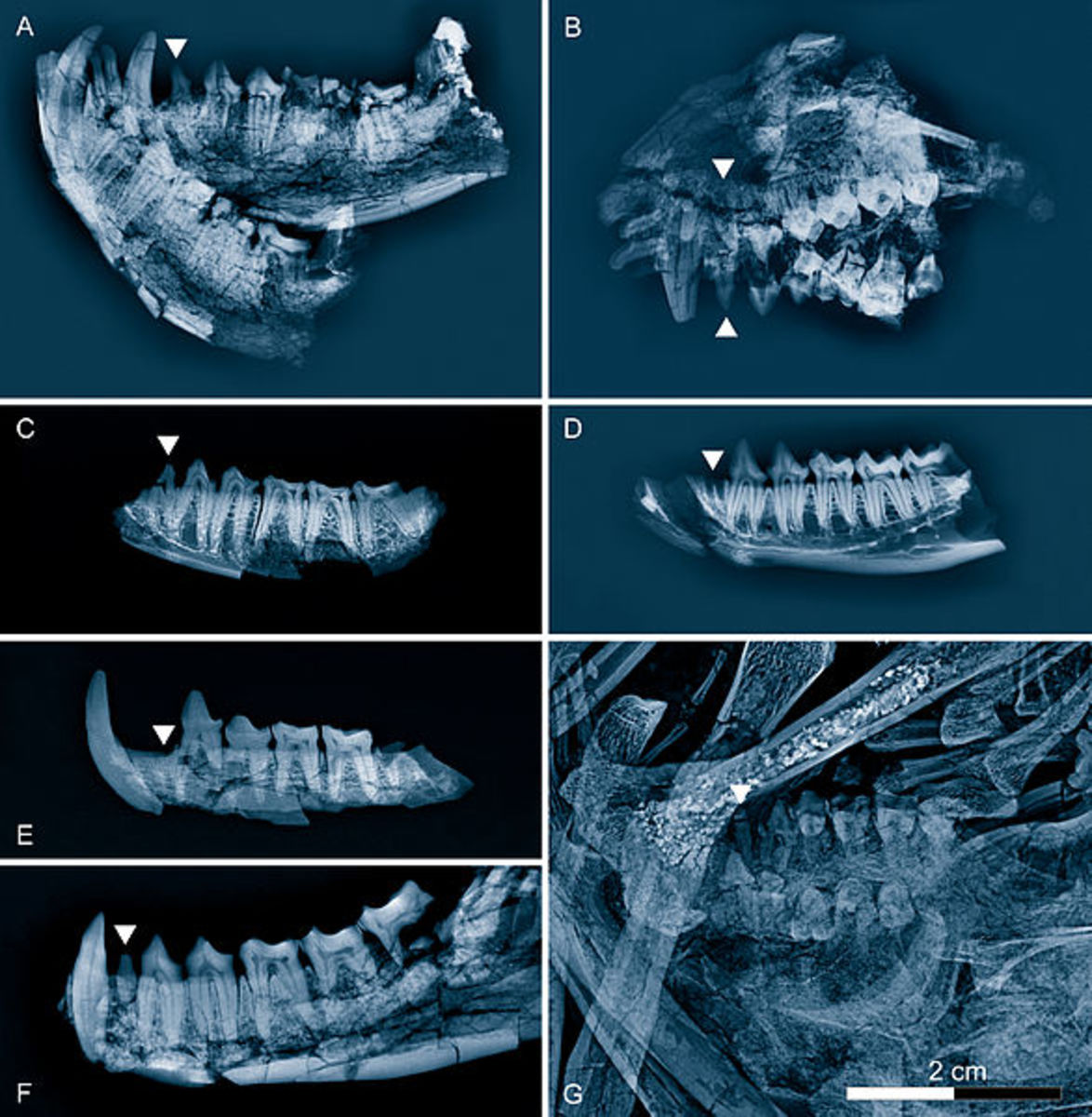 These are all radiographic reconstruction of Eocene primate jaws, including Godinotia which is in the bottom right (G).