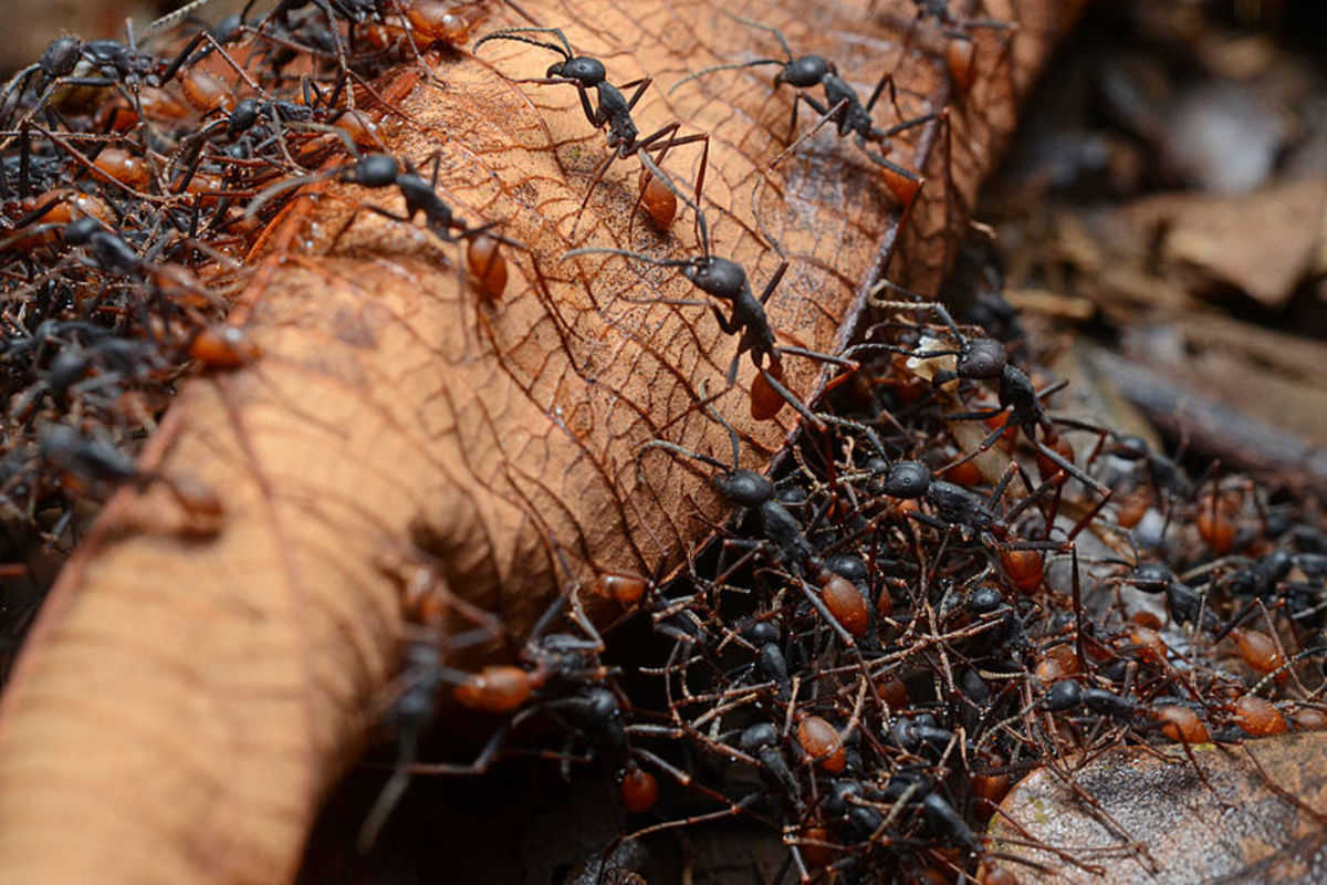 Army ants may not be as big as their Eocene ancestors but they're every bit as tenacious.