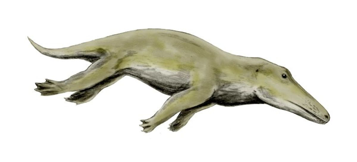 This is the ancestor all living whales and dolphins. Its name, Ambulocetus literally means 'walking whale' and its easy to see why it was given the name.