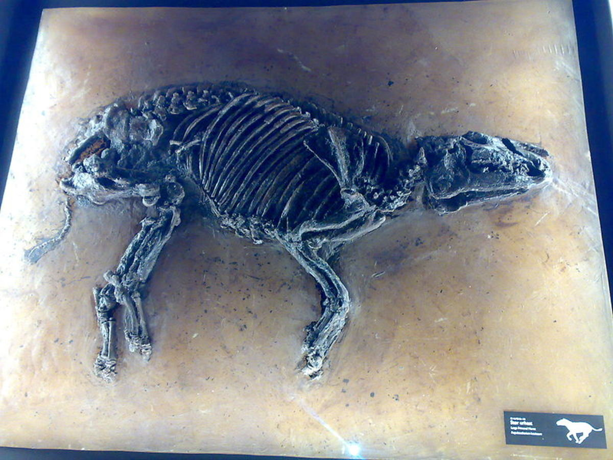 A fossil cast of propalaeotherium from the Messel site in Germany.