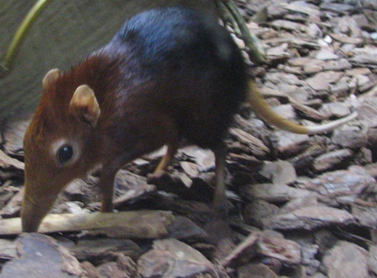 Leptictidium probably bore a striking resemblance to modern elephant shrews