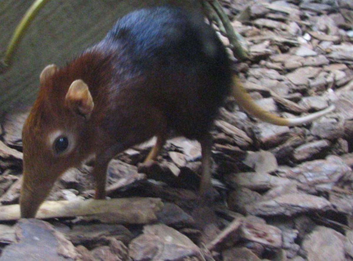 Leptictidium probably bore a striking resemblance to modern elephant shrews