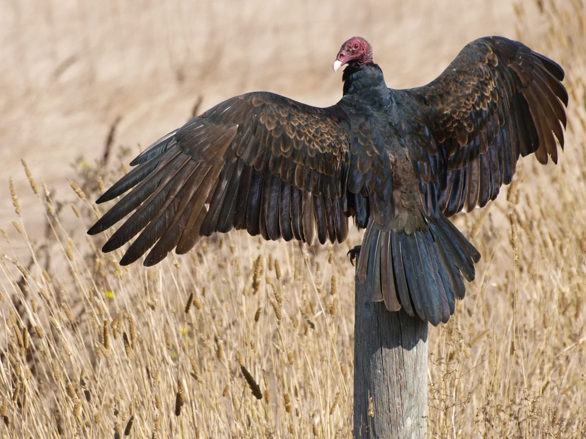 A Turkey Vulture in the Horaltic pose.