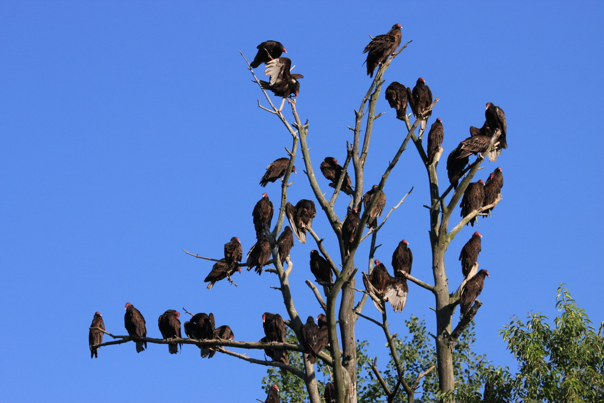 Large group of Turkey Vultures roosting
