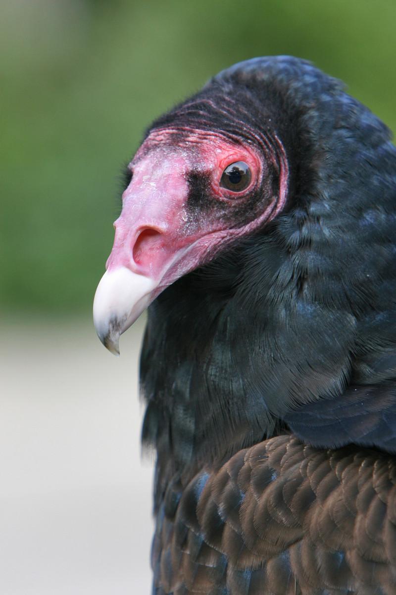 A Closeup of a Turkey Vulture