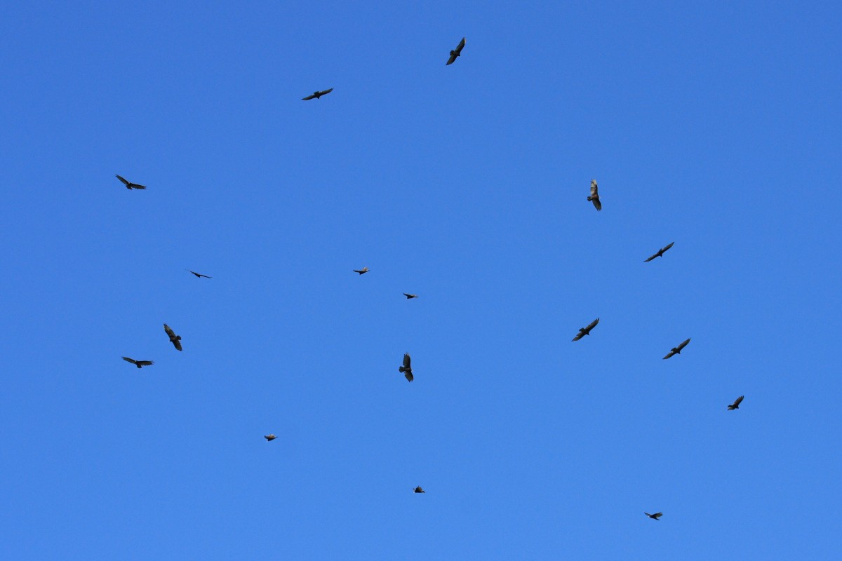 "A ""Kettle"" of Turkey Vultures"