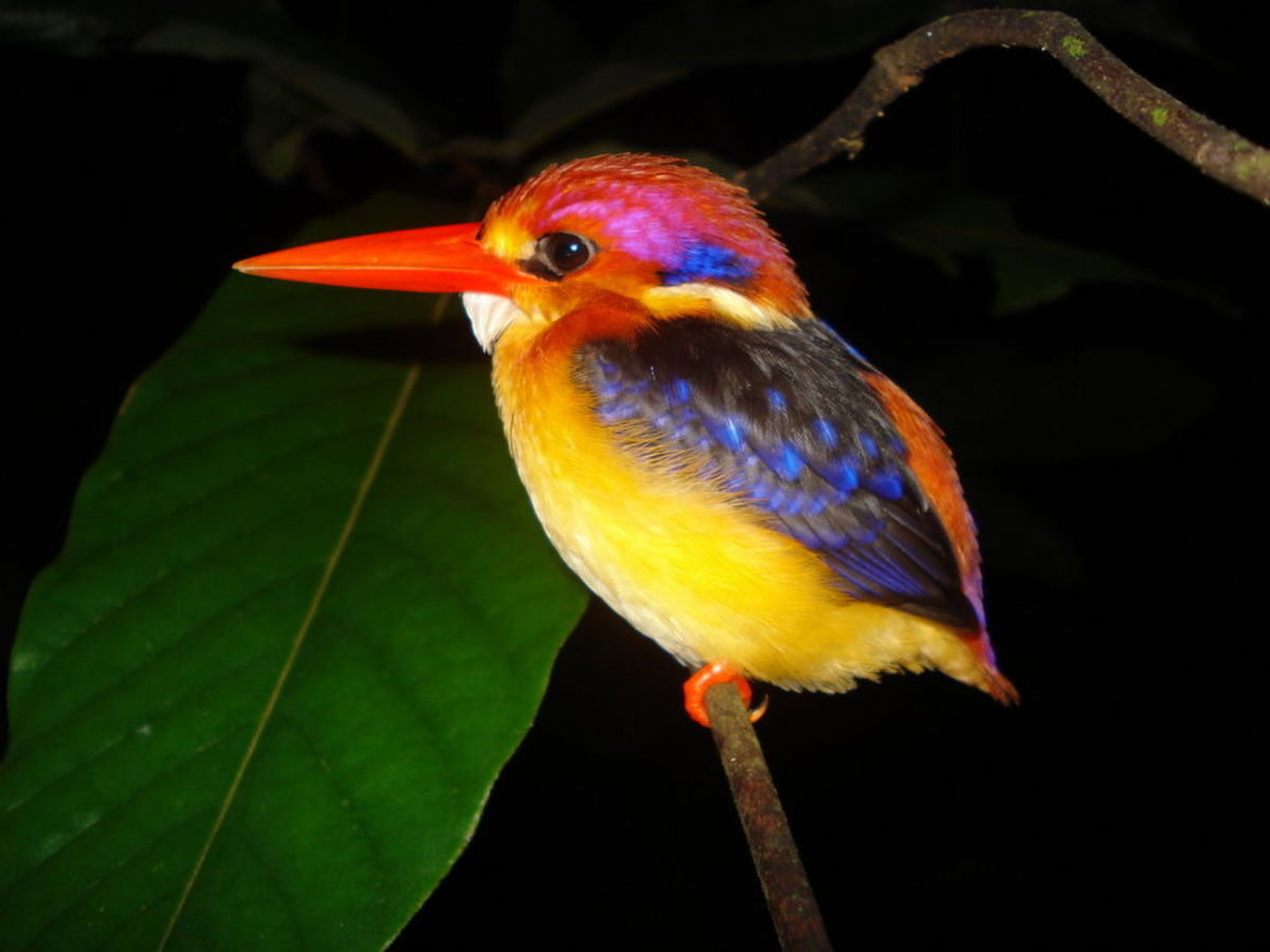 The colorful black backed kingfisher.