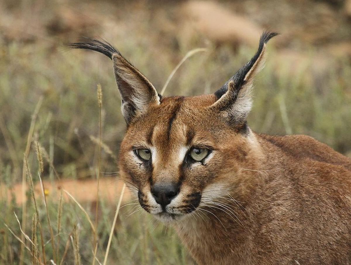 A caracal on the prowl.