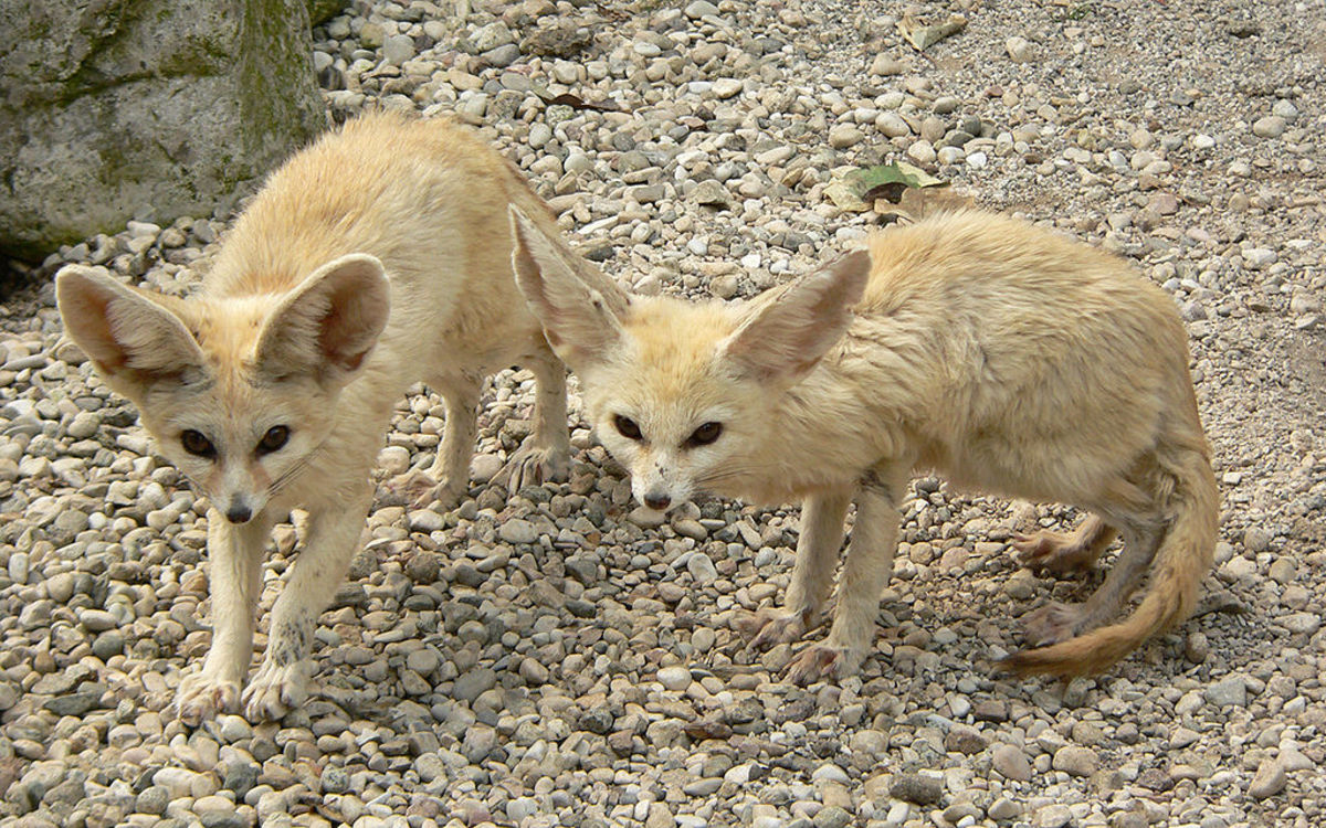 Two young fennec foxes.