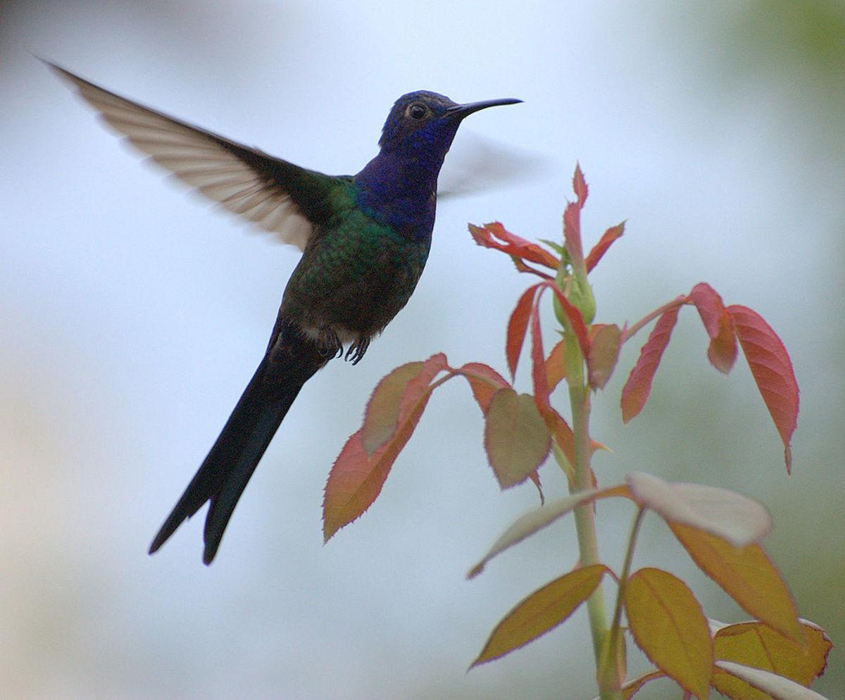 The swallow-tailed hummingbird in flight.