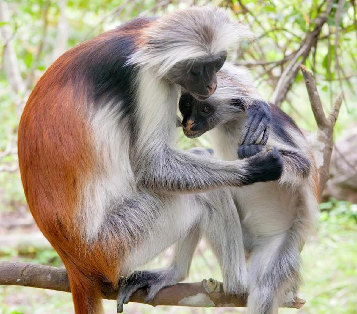 The Zanzibar red colobus.
