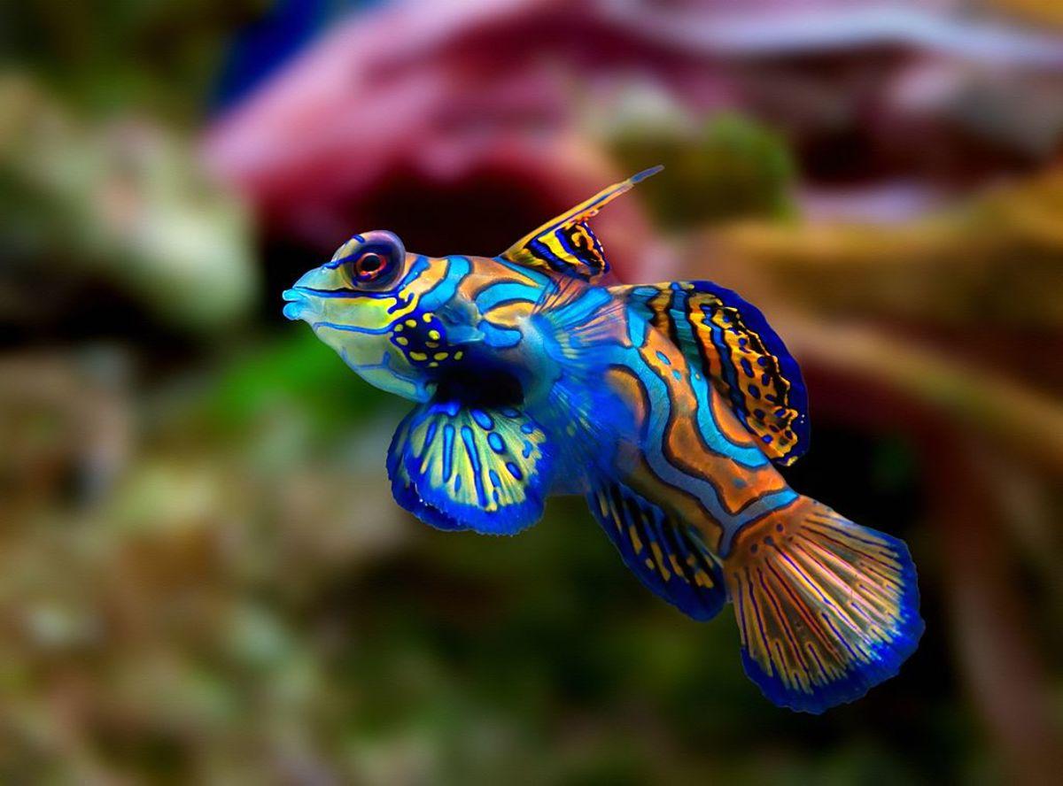 The regal profile of the mandarin fish.