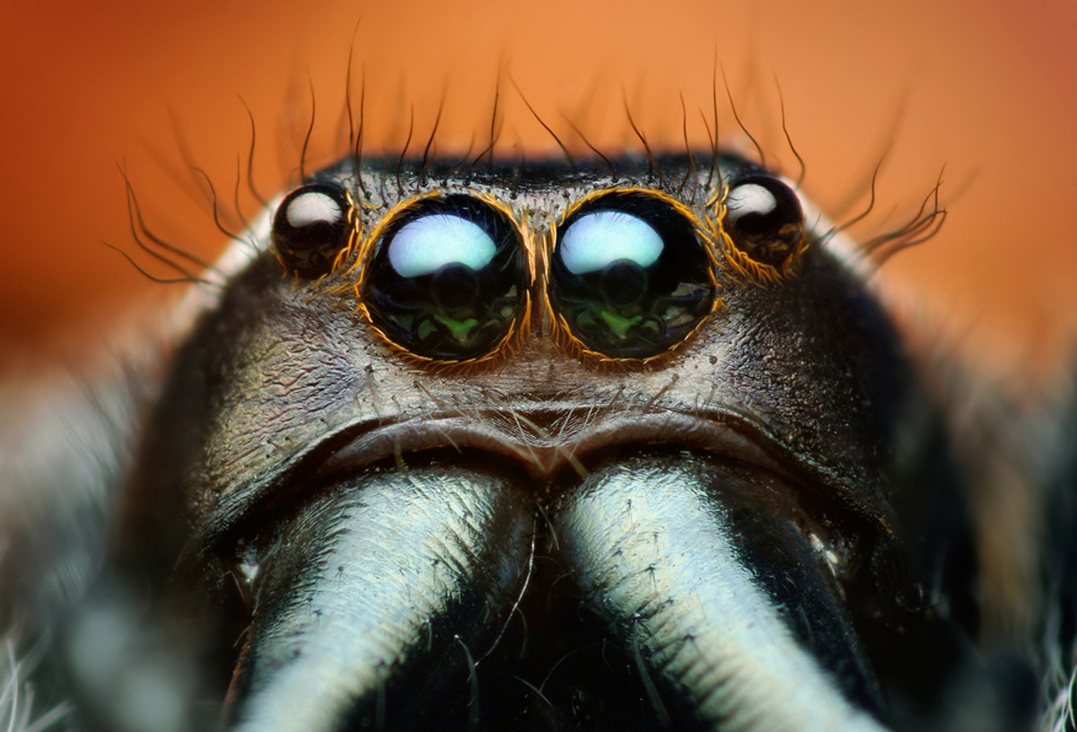 This photo shows the large front eyes of an adult male Paraphidippus aurantius jumping spider.
