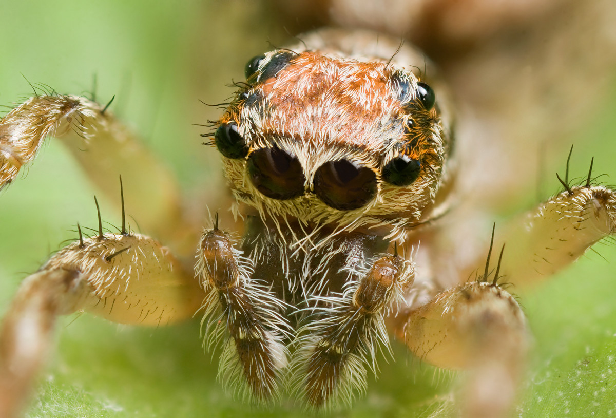 This photo shows the many eyes of  a female Clynotis severus jumping spider.