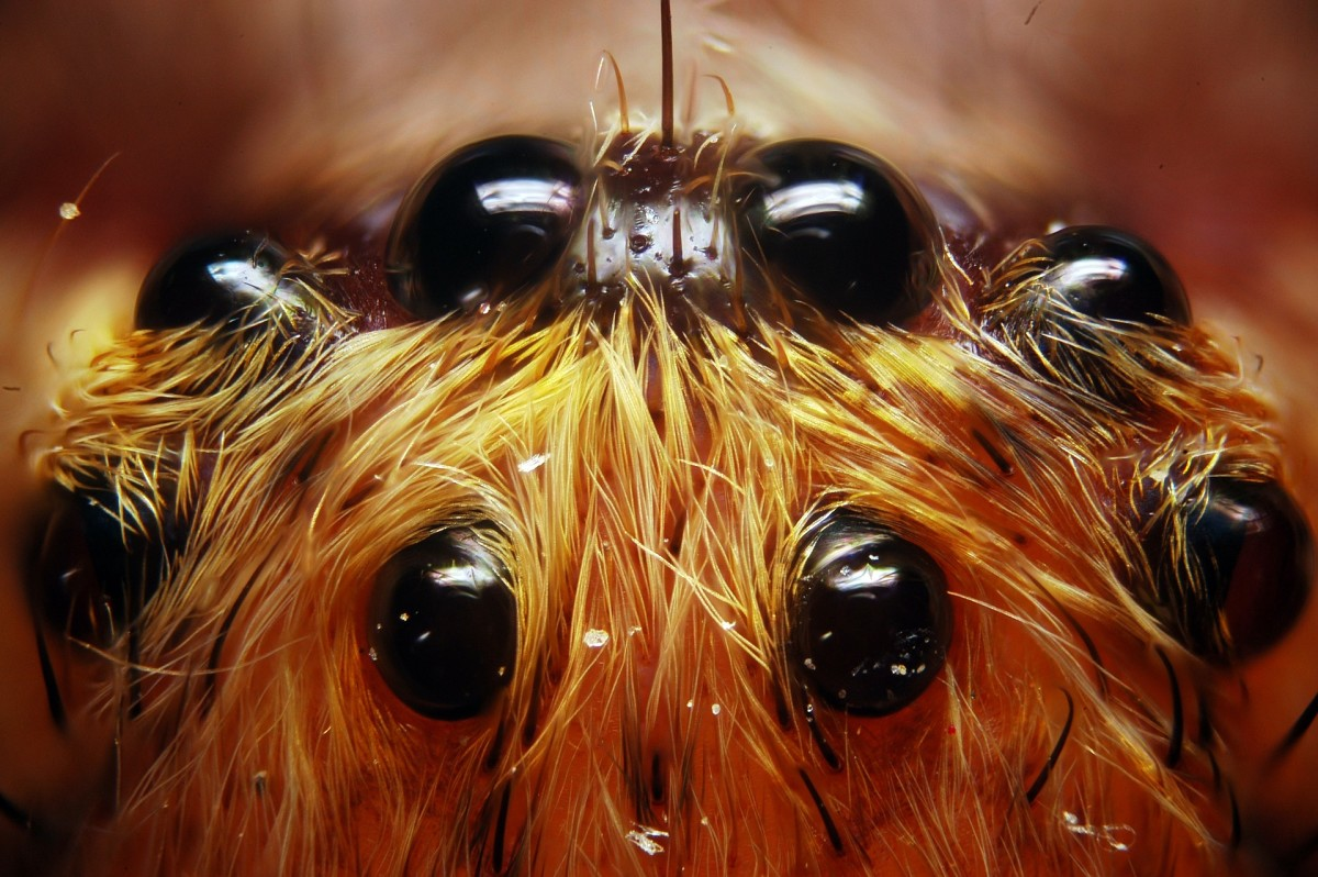 Spiders can have anywhere from zero to eight eyes, but most species have eight.