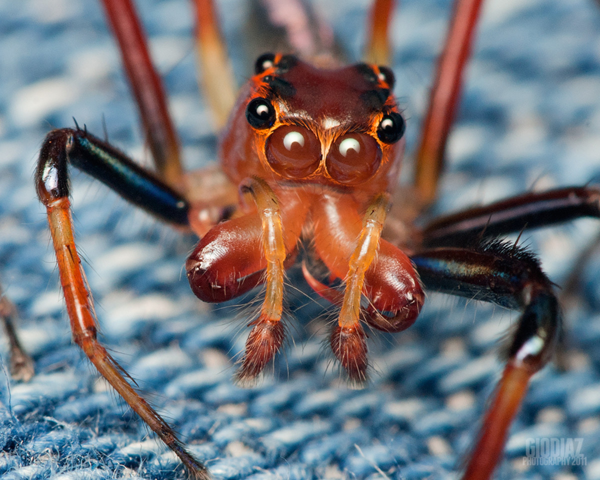 This photo shows the multiple eyes of a red jumping spider.