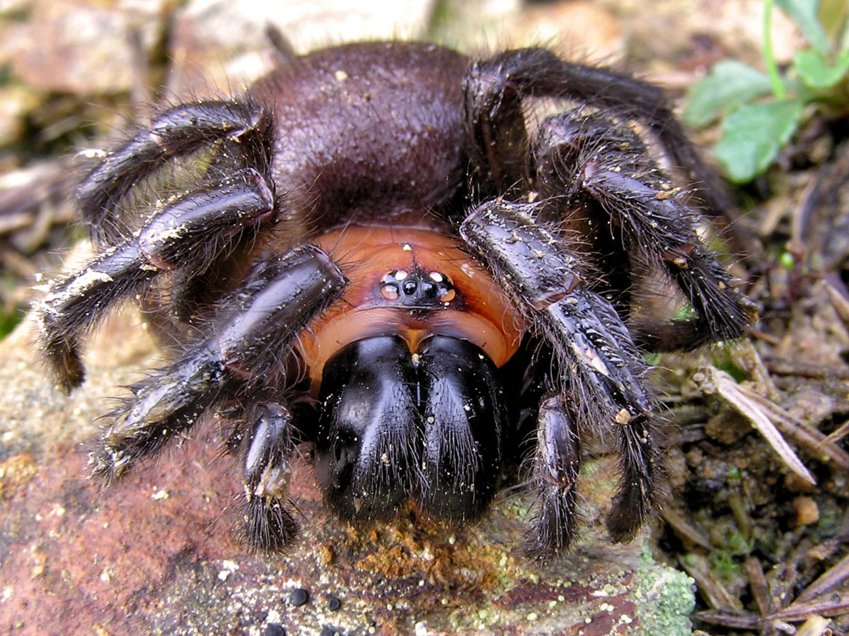 This black tunnel-web spider has very tiny eyes
