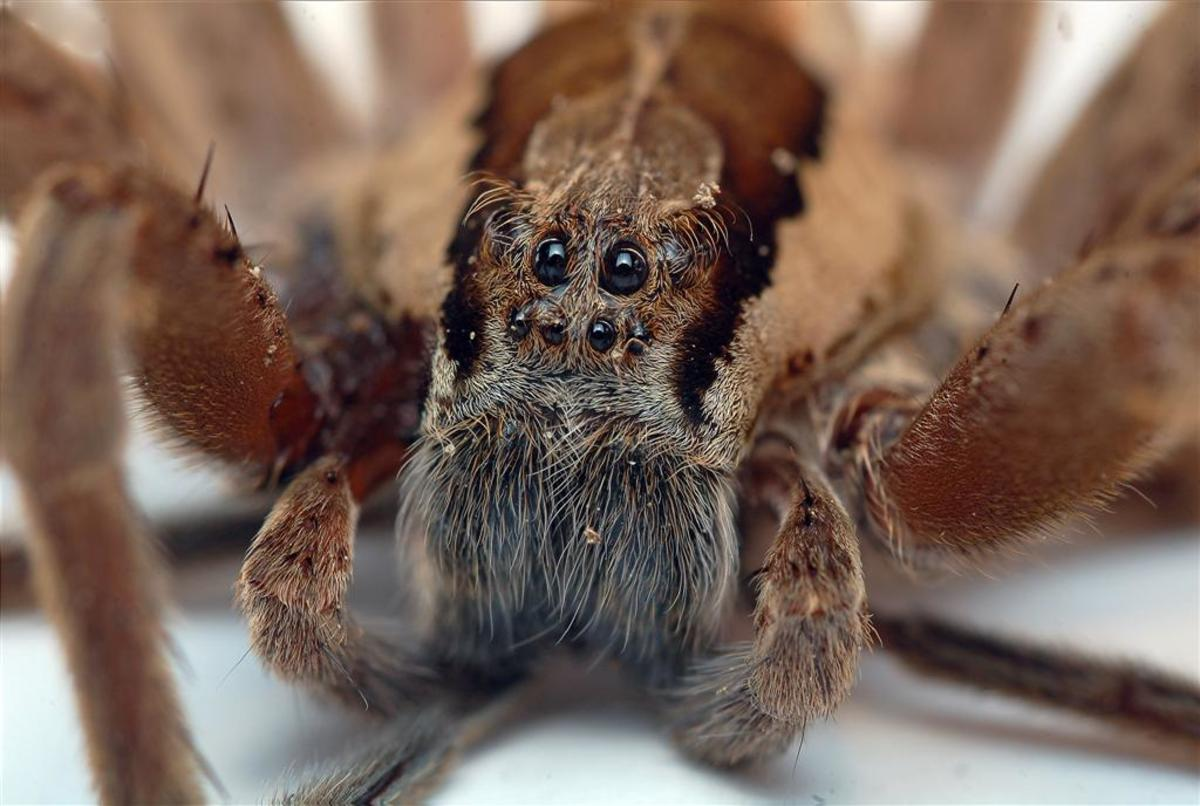 This photo shows the eyes of a Dolomedes minor, a New Zealand nursery-web spider.