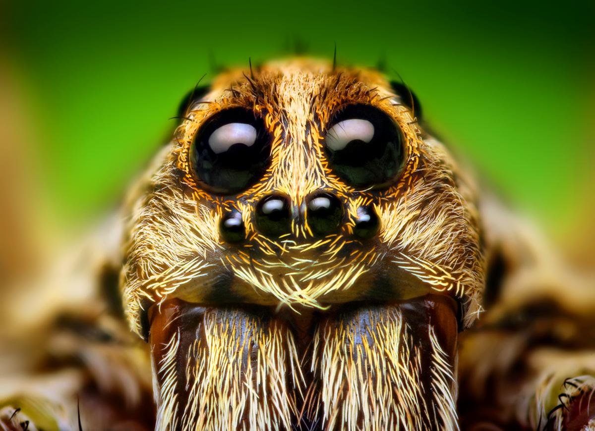 This closeup photo shows the eye arrangement of a Hogna wolf spider.